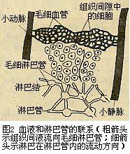 血液和淋巴管的联系