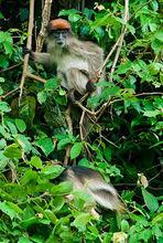 塔纳河红疣猴3